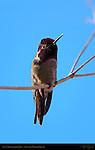 Anna's Hummingbird Male, Sepulveda Wildlife Refuge, Southern California