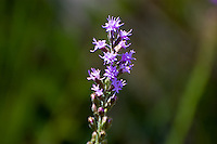 Blazing Star growing in the CREW Marsh Hiking Trails in SW Florida.