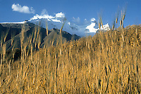 Peru, Andes Montain Range - Cordillera de los Andes, Cordillera Blanca mountain range, wheat field, mount Huandoy in background.
