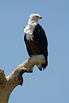 African Fish Eagle, Haliaeetus vocifer, Lake Langano, Ethiopia, perched on tree top, blue sky background.Africa....