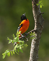 Orioles & Tanagers