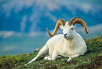 Dall sheep ram rests on the alpine tundra, Denali National Park, Alaska