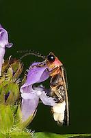 1C24-800z  Pyralis Firefly - Lightning Bug - Male - Photinus spp.