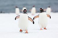 Yankee Harbor, Antarctic peninsula