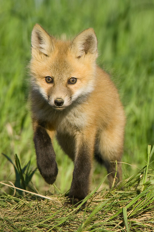 Fox kit walking over the top of a hill