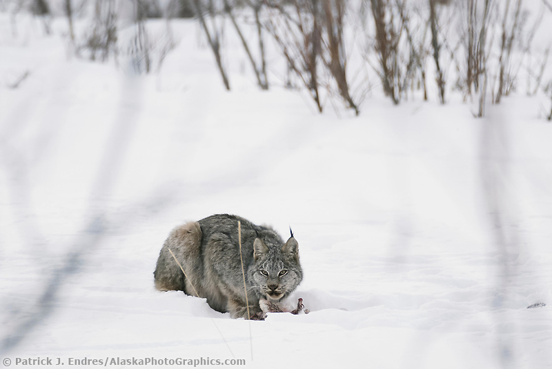 Lynx feeds on a snowshoe hare recently caught on the winter snow in the boreal forest of the Brooks Range, Arctic, Alaska.