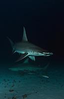 RR1983-Dr. Great Hammerhead Shark (Sphyrna mokarran) swims above a Bull Shark (Carcharhinus leucas) over sandy bottom at night. Bahamas, Atlantic Ocean.<br /> Photo Copyright &copy; Brandon Cole. All rights reserved worldwide.  www.brandoncole.com