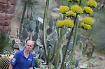Foto: VidiPhoto<br /> <br /> ARNHEM &ndash; Beretrots bekijkt tuinman Ernst Kamphuis van Burgers&rsquo; Zoo in Arnhem de volop bloeiende 5 meter hoge, Agave Parry in de Dessert. Bijna 25 jaar heeft hij de Zuid-Amerikaanse plant gekoesterd en met liefde verzorgd, met als gevolg het hoogtepunt woensdag. De botanische lieveling van Kamphuis bloeit slechts enkel weken en sterft daarna af. Eenmaal in de ongeveer 25 jaar toont de Agave zijn schoonheid, geeft zijn zaad en daarna is het definitief gebeurd. Burgers Zoo heeft drie van deze Agave&rsquo;s in de Dessert. Wanneer de andere planten hun bloemen tonen is niet bekend. Ook dat kan nog jaren duren. De bestuiving gebeurt door vleermuizen. In Mexico wordt uit het sap de Mexicaanse nationale drank pulque bereid. Ook tequila wordt van het sap van een agavesoort (Agave tequilana) gemaakt. De vezels in de bladeren van de Agave sisalana en enkele andere soorten kunnen gebruikt worden voor het maken van touw en matten (sisal).