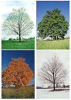 Christmas and happy new year sequences. In four seasons wish the best of time and change to those you care for using a real maple tree with a little star for winter. Missouri USA