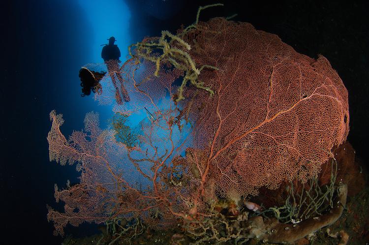A diver descends in a cavern abovve a gorgomnian sea fan, Gorontalo, Sulawesi, Indonesia