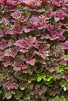 Solenostemon (Coleus) 'Red Mars', a duckfoot type lobed leaf ornamental annual foliage plant in colorful shades of dark red and green