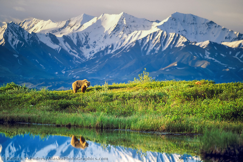 Female grizzly bear basks in the morning sun near a small tundra pond in Denali National Park, Alaska, snow covered Alaska mountain range in the distance.