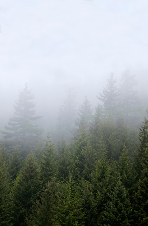 Hillside of evergreen trees in morning fog, Columbia River Gorge, Oregon, USA