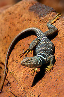 441273004 a wild desert collared lizard crotaphytus insularis bicinctores perches on a lava rock near Fossil Falls, California