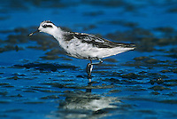 570953005 a wild red-necked phalarope shorebird in winter plumage feeds in the shallows of san elijo lagoon in san diego county in southern california united states