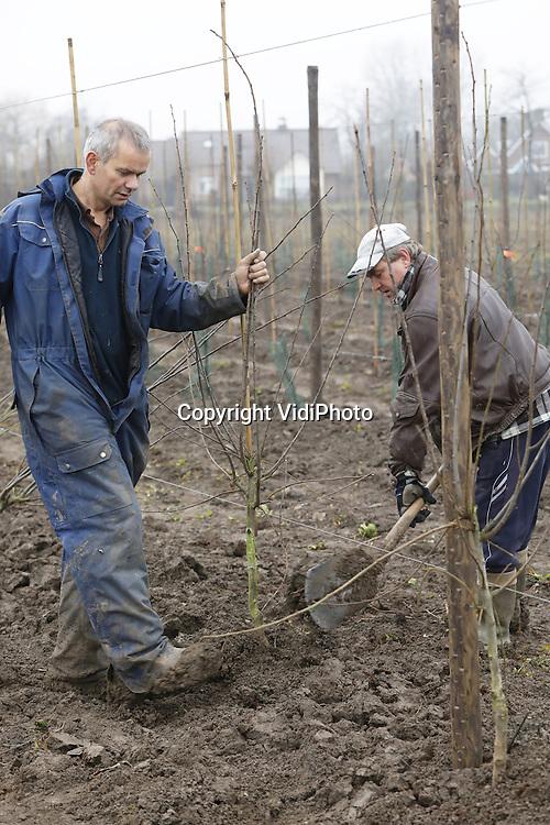 Foto: VidiPhoto<br /> <br /> VALBURG - Op bijna 4 ha. grond in het Betuwse dorp Valburg plant fruitteler Frederik Bunt woensdag 9000 pruimenbomen. De nu al grootste pruimenteler van ons land, wil in 2018 nog eens vier ha. aanplanten. Omdat er te weinig pruimenbomen op voorraad zijn, wil Bunt bovendien zelf zijn bomen gaan kweken. Naast en voor het perceel wordt komend voorjaar bovendien ruim 2 ha. pioenrozen aangeplant, bestemd voor de export. Jaarlijks worden er slechts 4 miljoen pruimen geconsumeerd. Dat komt omdat het oogstseizoen op dit moment slechts enkele weken is en de consument daardoor nauwelijks tijd heeft om pruimen te kopen. Met het nieuwe conceptras Lazoet wil de Betuwse fruitteler een eind maken aan het traditionele denken en het seizoen verlengen naar 8-10 weken, waardoor volgens hem de consumptie zal stijgen en er ook ruimte is voor groei van het pruimenareaal.