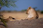 African lion & cub, Okavango, Botswana