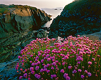 Spring Sea Pinks at Sunrise along the Atlantic Coast, near Mizen Head, County Cork, Republic of Ireland