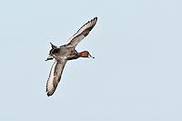 Redhead Duck in Flight