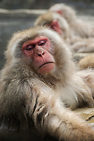 Japanese macaques, often called snow monkeys, bathing in the hot springs at Jikokudani in winter, Nagano, Japan.