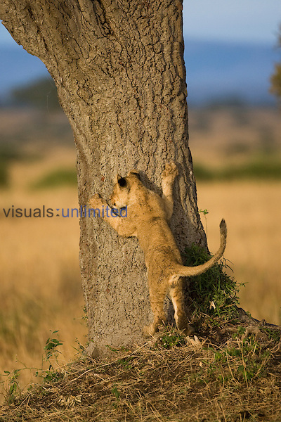 African Lion (Panthera leo)  cub pawing a tree, Masai Mara, Kenya.