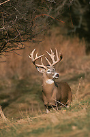 Whitetail deer (Odocoileus virginianus) Trophy Minnesota buck in rut