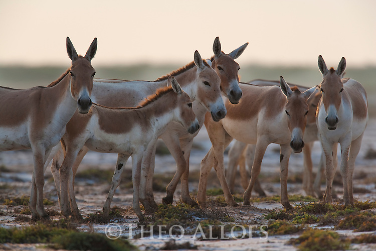 Herd of Indian wild asses (Equus hemionus khur) in clay pan, dry season