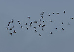 A flock of pintail in flight.