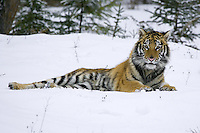 Siberian Tiger laying in the snow - CA