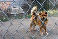 1618 South M St, are two chaiuned dogs - a Chow and a Husky under a tree.    Chained dogs in Tacoma including Bandit at 6610? S. Cheyenne St., and dogs near the McKenzie park neighborhood and Hill Top neighborhood. (photo Karen Ducey)
