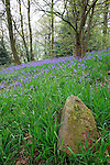 Bluebells Growing in English Woodland
