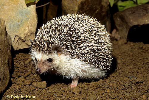 MA42-013z  African Pygmy Hedgehog - Erinaceus albiventris