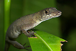 Common Forest Anole, Amazon Forest Anole. Norops trachyderma, Iquitos, Peru, jungle, nocturnal, lizard. .South America....