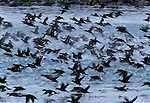Surf scoters take flight, Glacier Bay National Park, Alaska, USA