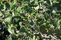 Wild cactus on Santorini, Greece