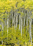 aspen trees with fall colors in glacier national park