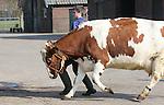 Foto: VidiPhoto<br /> <br /> STROE - Leerlingen van het agrarisch Groenhorst College uit Barneveld oefenen dinsdag bij melkveehouderij Strooimansgoed van Arnold Ruitenbeek in Stroe voor de fokveedag in Putten zaterdag. Daarnaast worden de dieren geschoren. De geselecteerde koeien moeten leren mooi te lopen en rustig te blijven naast hun begeleider als ze zaterdag voor de keurmeesters verschijnen. In totaal doen 44 leerlingen mee, naast diverse melk- en rundveehouders. In totaal moeten 180 dieren in de ring hun rondje lopen. Bijzonder aan de fokveedag is dat deze is georganiseerd door de leerlingen zelf. Nog niet eerder hebben zoveel studenten tegelijk meegedaan aan zo'n veekeuring. Voor agrari&euml;rs is de dag een onderlinge competitie van het mooiste en beste vee. De studenten moeten vooral leren omgaan met vee. Omdat bedrijven groter worden, krijgen koeien minder individuele aandacht, waardoor ze steeds wilder worden.