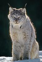 657146161 a captive canadian lynx felis lynx backlit in a snowbank in montana