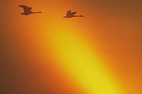 Tundra Swan (Cygnus columbianus), pair in flight at sunset, Raleigh, Wake County, North Carolina, USA