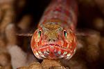 Variegated Lizardfish (Synodus variegatus). North Raja Ampat, West Papua, Indonesia
