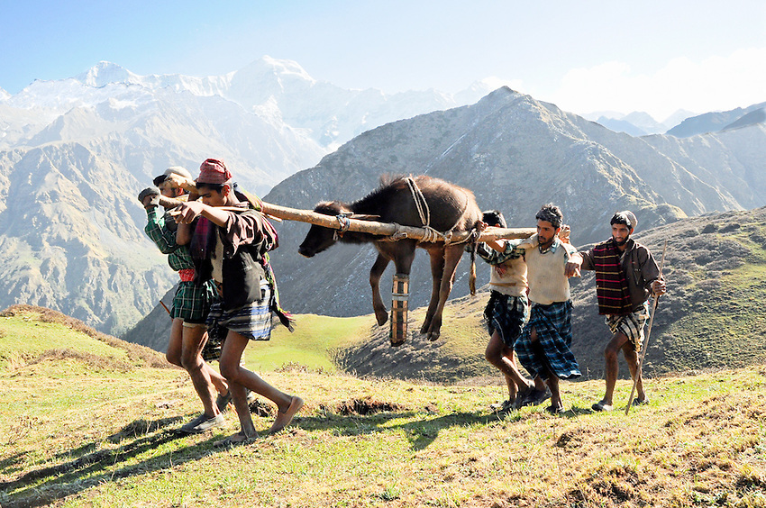 No buffalo left behind - the broken legged yearling is carried up and over a Himalayan pass.