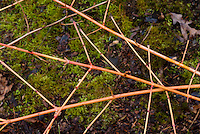 Cornus sanguinea Arctic Sun ('Cato') in winter stems
