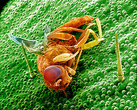 A Fruit Fly (Drosophila) trapped in a Venus Flytrap (Dionaea muscipula). SEM  **On Page Credit Required**
