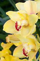 Yellow Cymbidiums hybrid (Tal Craig x Sutherland) with red lip