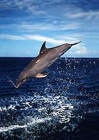 An Atlantic Bottlenose Dolphin, Tursiops truncatus, leaps into the Caribbean air,  Roatan, Honduras.