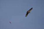 Swainson's hawk and cliff swallow flying