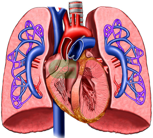 ... Worksheet together with Heart Lungs And Pulmonary Circulation. on