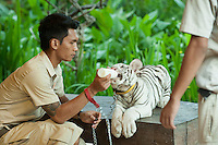 A rare albino Bengal Tiger cub.