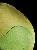 Frog egg (Rana pipiens) dorsal lip of blastopore. SEM X160 **On page credit required**