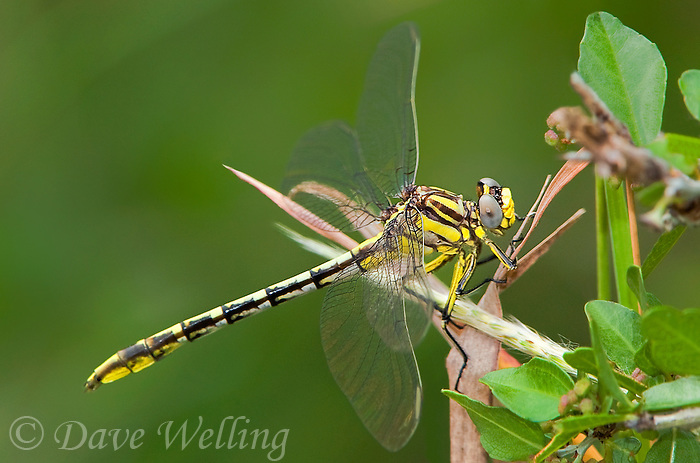 334120008 a wild female sulphur-tipped clubtail gomphus militaris perches on a plant leaf in southeast metropolitan park in austin travis county texas
